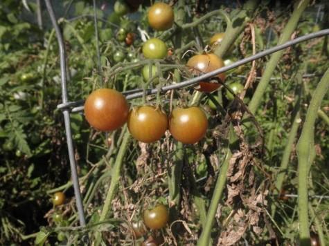 Sweet Million Cherry Tomatoes