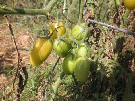 Blush Tomatoes